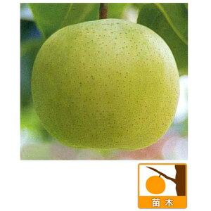 果樹の苗/梨(ナシ):ゴールド二十世紀4号ポット