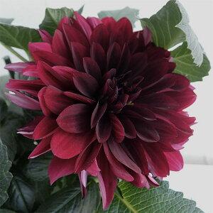 ダリア:黒蝶(コクチョウ)5号鉢植え