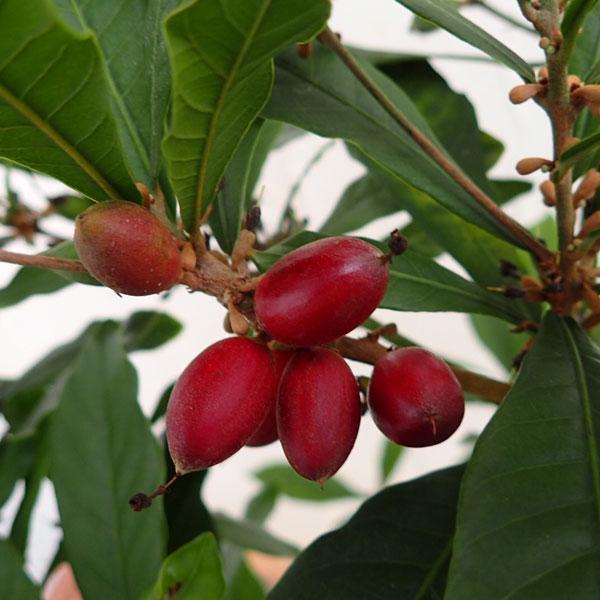 果樹の苗/ミラクルベリー(ミラクルフルーツ)8号鉢植え[実を口に含むとレモンが甘くなる!実付きの大株]