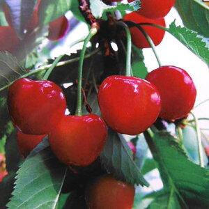 果樹の苗/サクランボ:べにしゅうほう(紅秀峰)接木苗4〜5号ポット
