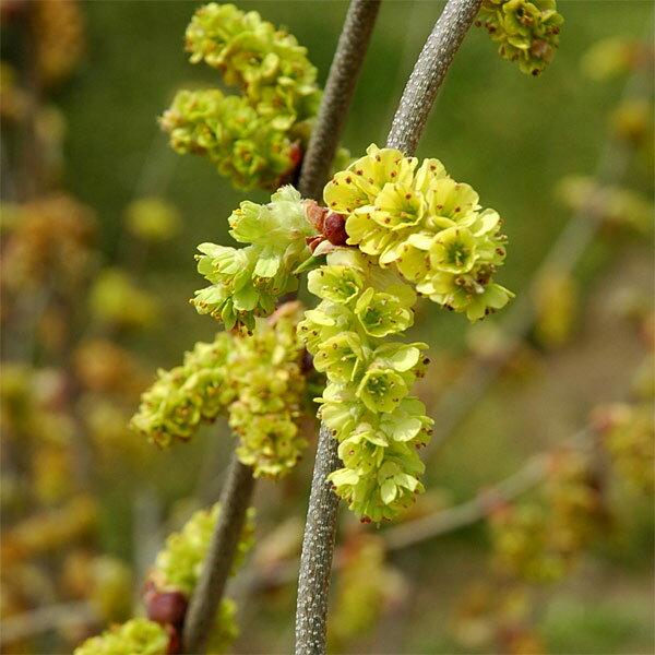 花木 庭木の苗/トサミズキ:ニオイトサミズキ樹高1.5m根巻き