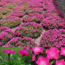 草花の苗/ナデシコ花はなローズ3号ポット12株セット