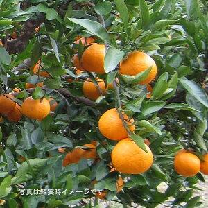 果樹の苗/タンカン4.5号ポット