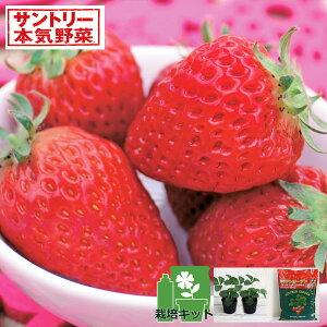 野菜の苗/いちごのかんたん栽培セット(鉢無しでできる):イチゴ:ドルチェベリーR