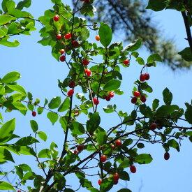 果樹の苗/グミ:ナツグミ2.5〜4号ポット*