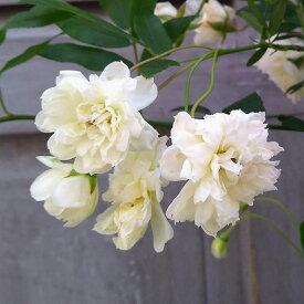草花の苗/モッコウバラ:白花八重咲き3〜3.5号ポット*