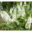 花木 庭木の苗/ブッドレア:ホワイトプロフュージョン(白花)4号ポット