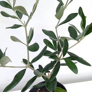 果樹の苗/オリーブ:ミッション3.5号ポット 3株セット
