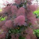 花木 庭木の苗/スモークツリー:グレース4号ポット