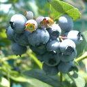 果樹の苗/ブルーベリー:ティフブルー5号ポット