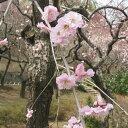 花木 庭木の苗/花梅:藤牡丹枝垂れ(フジボタンシダレ)4号ポット