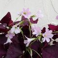草花の苗/オキザリストリアングラリス紫の舞3.5号ポット2株セット