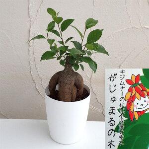 観葉植物/ガジュマル(多幸の木)4号鉢植え