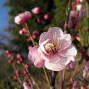 花木 庭木の苗/花梅:道知辺(ミチシルベ)接木苗4〜5号ポット
