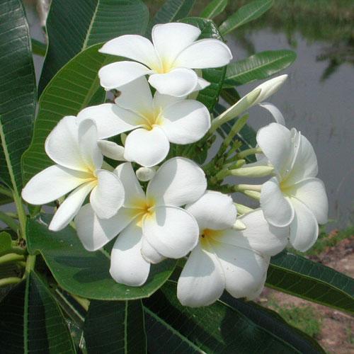 花木 庭木の苗/プルメリア挿し木用苗パック詰め:ホワイトイエロー 1株
