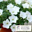 草花の苗/ランドスケープペチュニア:お雪ちゃん3.5号ポット6株セット