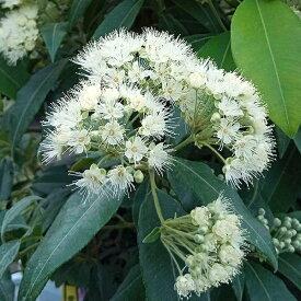観葉植物/レモンマートル7号鉢植え