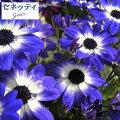 草花の苗/サイネリア:セネッティ豪華咲きブルーバイカラー3.5号ポット