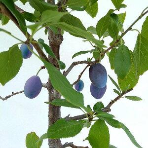 果樹の苗/プルーン:スタンレープルーン6号鉢植え[実付き]