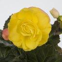 草花の苗/フォーチュンベゴニア:ゴールデンウィズレッドバック3.5号ポット3株セット