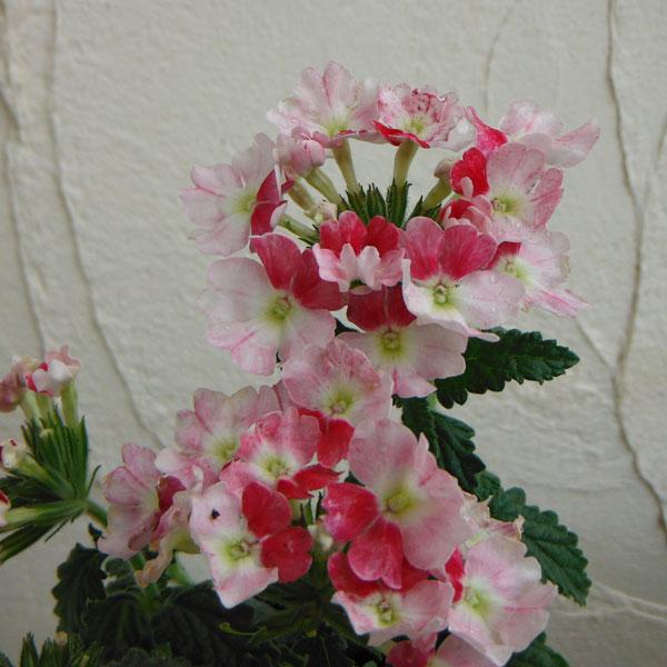 草花の苗/バーベナ:ピンクパフェ 3.5号ポット 6株セット