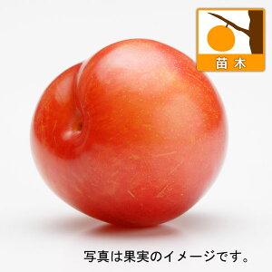 果樹の苗/スモモ(プラム):秋姫(あきひめ)4.5号ポット