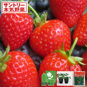 野菜の苗/いちごのかんたん栽培セット(鉢無しでできる):イチゴ:らくなりイチゴR