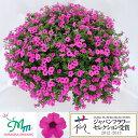 草花の苗/ペチュニア:ソフィアの宝石バイオレット3.5号ポット