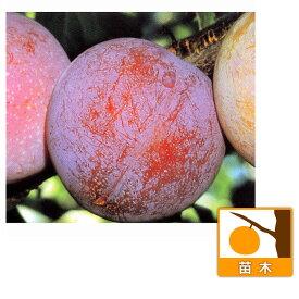 果樹の苗/スモモ(プラム):サンタローザ4〜5号ポット
