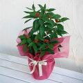 【ラッキーシール対応】千両(センリョウ):赤実5号鉢植えラッピング付き