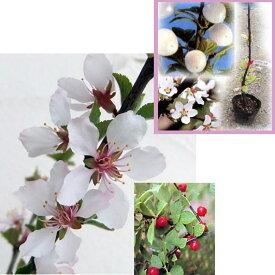 果樹の苗/ユスラウメ2種セット:白花赤実と白花白実4〜5号ポット