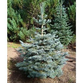 花木 庭木の苗/アルプスモミ:アリゾニカ グラウカ7号ポット樹高30cm
