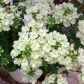 草花の苗/バーベナ:ラナイライムグリーン3.5号ポット