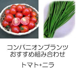 植物の苗/コンパニオンプランツ栽培セット:トマト(ミニ)天使のトマトミニとニラ