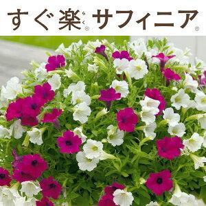 草花の苗/すぐ楽サフィニア:ぷらむ&みるく3.5号ポット(R)