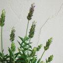 ハーブの苗/ラベンダー デンタータ 4号鉢植え 2株セット