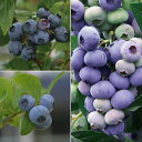 果樹の苗/ブルーベリー:デューク・エリザベス・ダローの3種セット