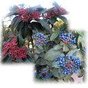 花木 庭木の苗/ビバーナム:ティヌス 樹高90cm根巻きまたは地中ポット