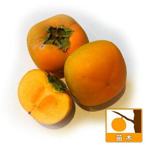 果樹の苗/カキ(柿):ヒラタネナシ(平核無)4〜5号ポット