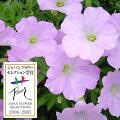 草花の苗/ランドスケープペチュニア:さくらさくら3.5号ポット2株セット