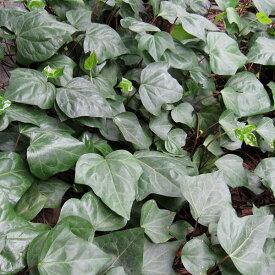 草花の苗/ヘデラ カナリエンシス(オカメヅタ):緑葉3〜3.5号2株セット