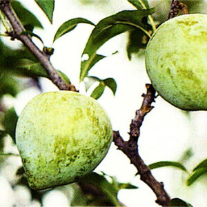 果樹の苗/スモモ(プラム):ケルシー4〜5号ポット