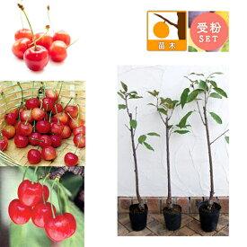 果樹の苗/サクランボ3種受粉樹セット:さとうにしき(佐藤錦)・たかさご(高砂)・ナポレオン接木苗