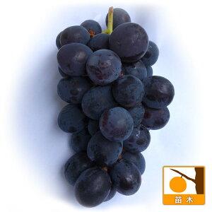 果樹の苗/ブドウ:ハニーブラック接木苗4〜4.5号ポット