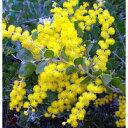 花木 庭木の苗/アカシア:パールアカシア5号ポット