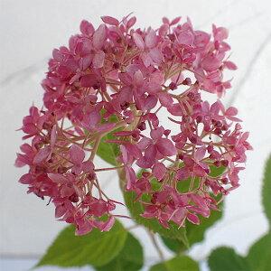 花木 庭木の苗/アジサイ:ピンクのアナベル3.5号ポット