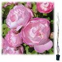 【ラッキーシール対応】バラの苗/つるバラ:ローブリッター 大苗長尺6号ポット