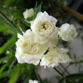 バラの苗/長尺つるもの:モッコウバラ白花八重5号ポット長さ1.2〜1.5m