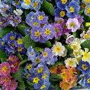 草花の苗/プリムラ ポリアンサ:センセーションストライプミックス3.5号ポット3株セット