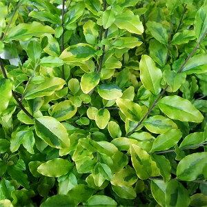 花木 庭木の苗/[送料無料]プリペット:レモンアンドライム5号ポット樹高30cm 8本セット